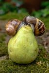 Escargots mangeant une poire tombée au sol