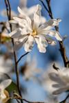 Fleur blanche du Magnolia étoilé au printemps