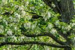 Floraison printanière du Robinier