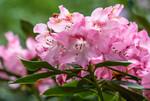 Rhododendron en fleurs au printemps