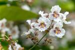 Floraison blanche du Catalpa commun