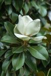 Fleur blanche et parfumée du Magnolia