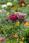 Oeillet de Poète en fleurs dans un jardin