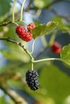 Fruits du Mûrier noir