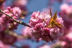 Cerisier du Japon au printemps