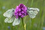 Papillon Gazé sur orchidée