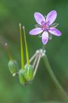 Inflorescence dErodium