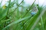 Papillon Argus bleu dans lherbe