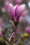 Fleur rose de Magnolia