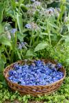 Récolte de fleurs de Bourrache