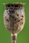 Capsule et graines de coquelicot