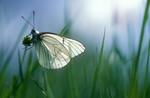 Papillon Gazé