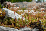 Orpin blanc en fleurs