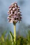 Orchidée sauvage, Orchis lacté